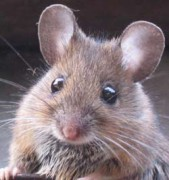 A Mouse To Sing To