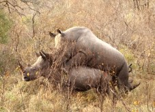 Have These Rhinos Sodomized Scientologists?