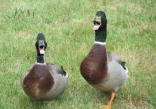 Ducks Were Prima Donna's On Noah's Ark