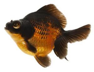 One Goldfish, Freshly Polished
