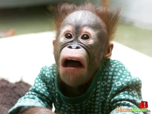 Orangutan Democrat Viewing 2014 Midterm Election Results